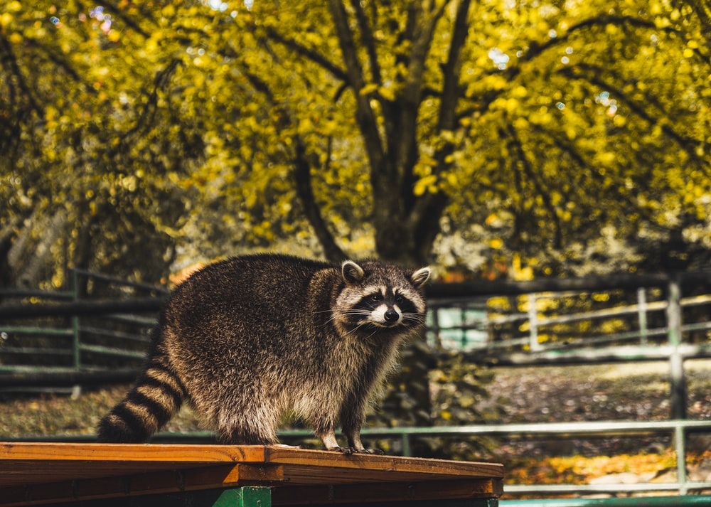 Raccoon on table under tree during daytime