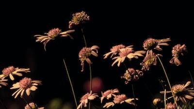 Prato black-eyed Susan flowers