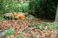Fox Kits and Hens fox stories