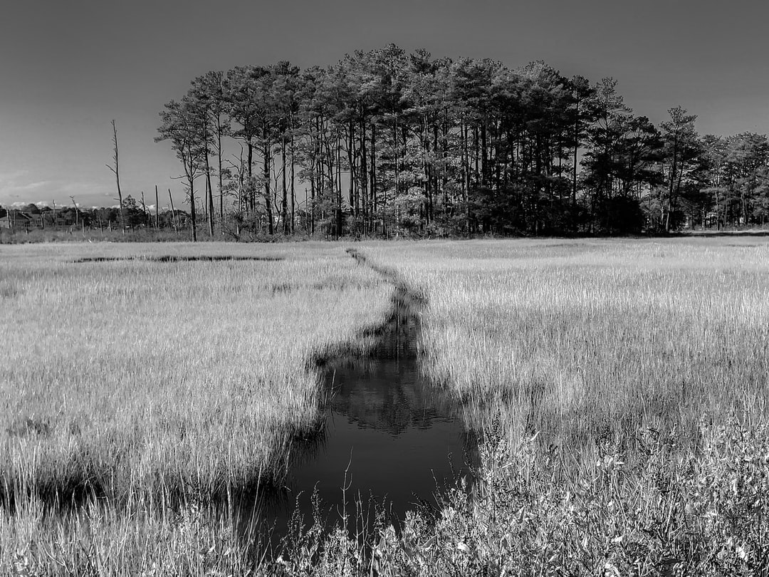 A black and white photo of a marsh near the Rehoboth Bay, Delaware.