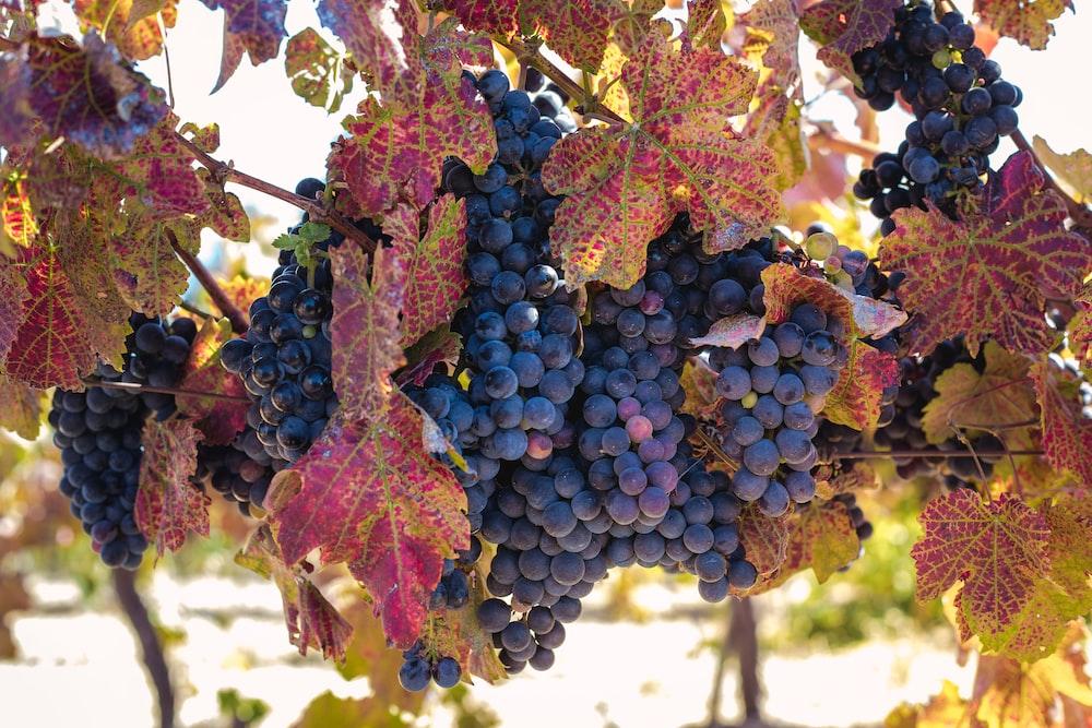 purple grape lot