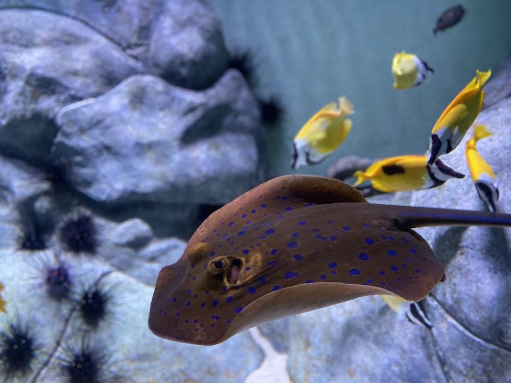 stingray near several yellow fish