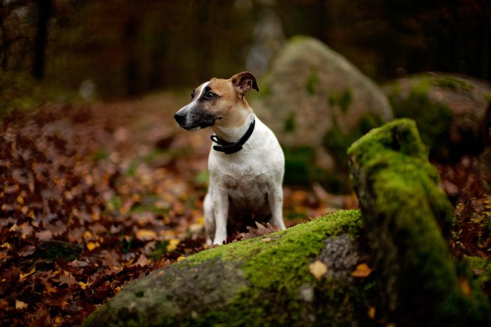 white and tan dog