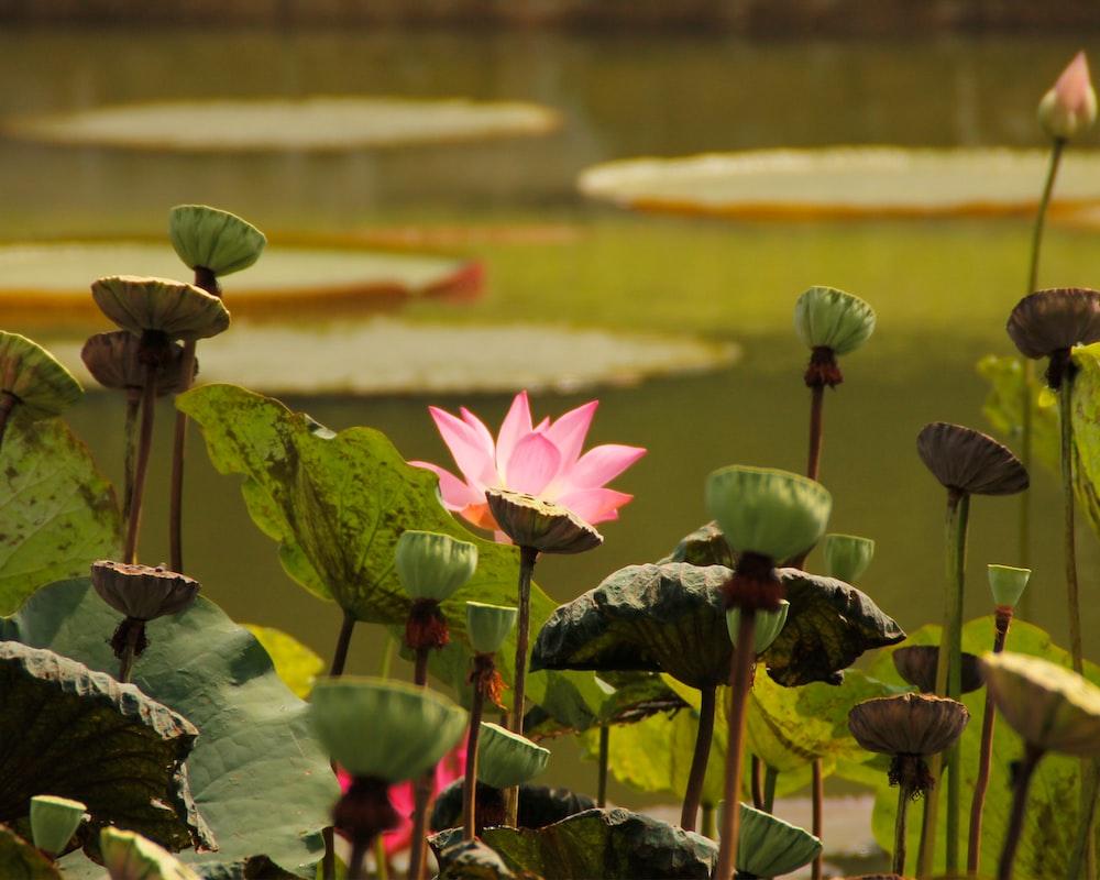 Pink Lotus Flower Photo Free Plant Image On Unsplash