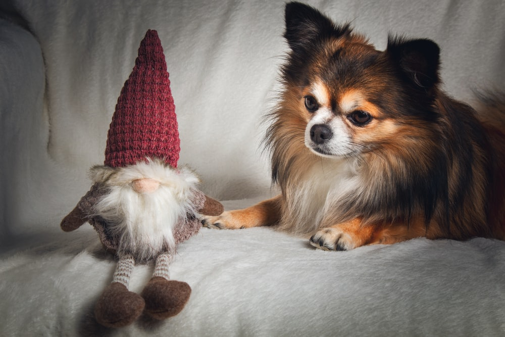 long-coated brown and black dog laying down beside gnome doll
