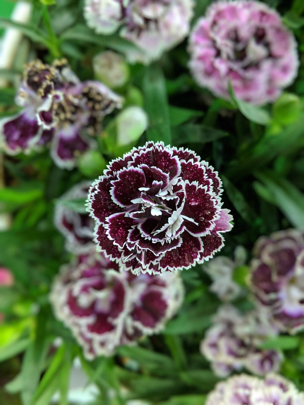 closeup photo of maroon flower