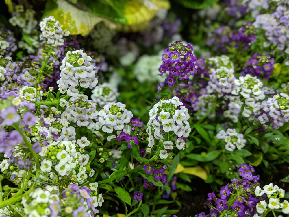 white and purple cluster flowers