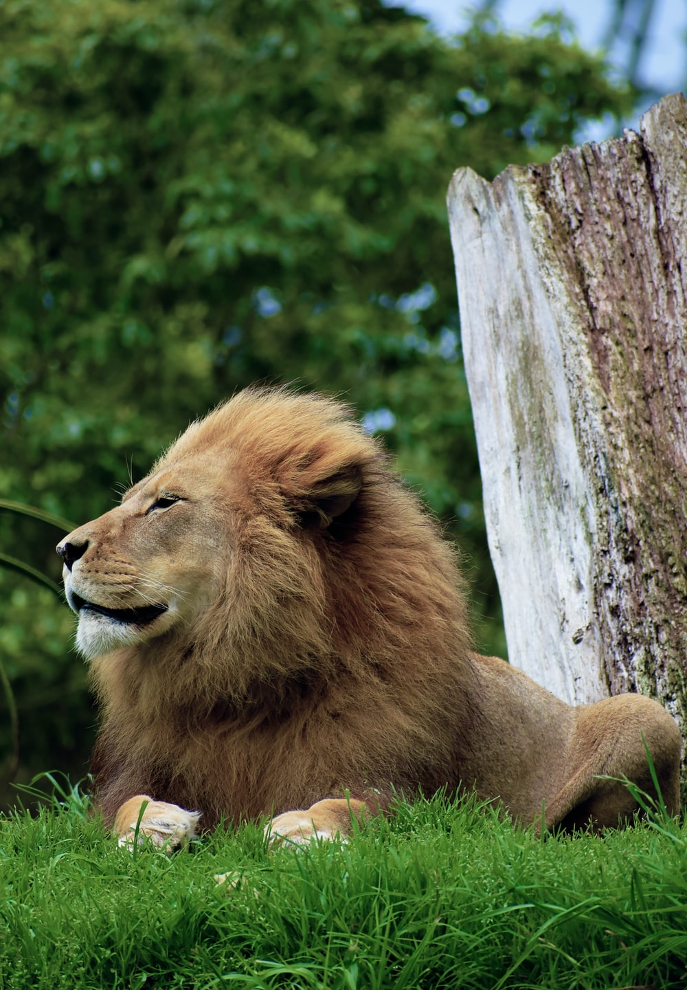 brown lioness sitting on green grass