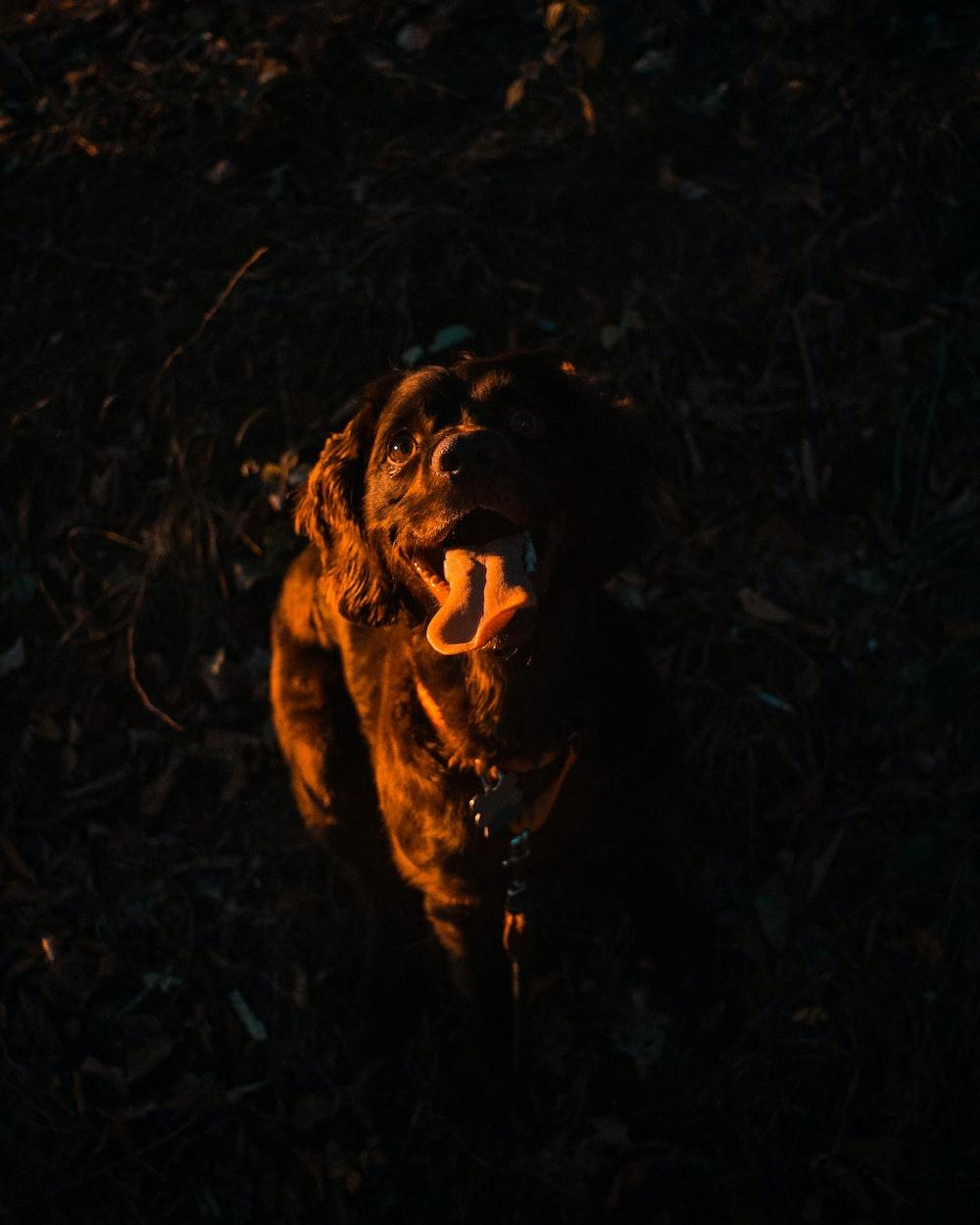 photo of adult black Labrador retriever