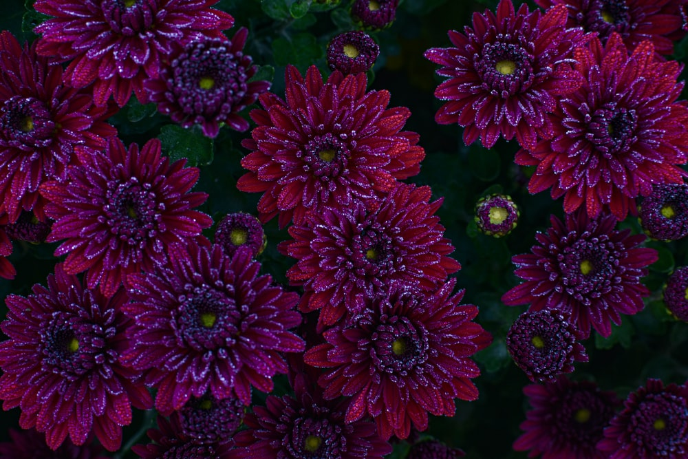 red-and-purple flowers