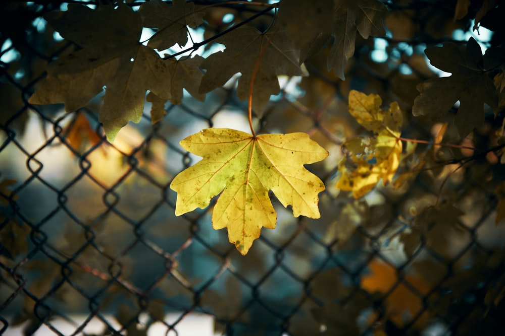 green maple leaves near gray chain link fence