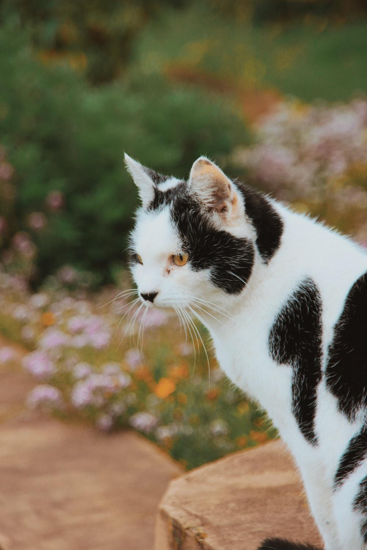 short-fur black and white cat