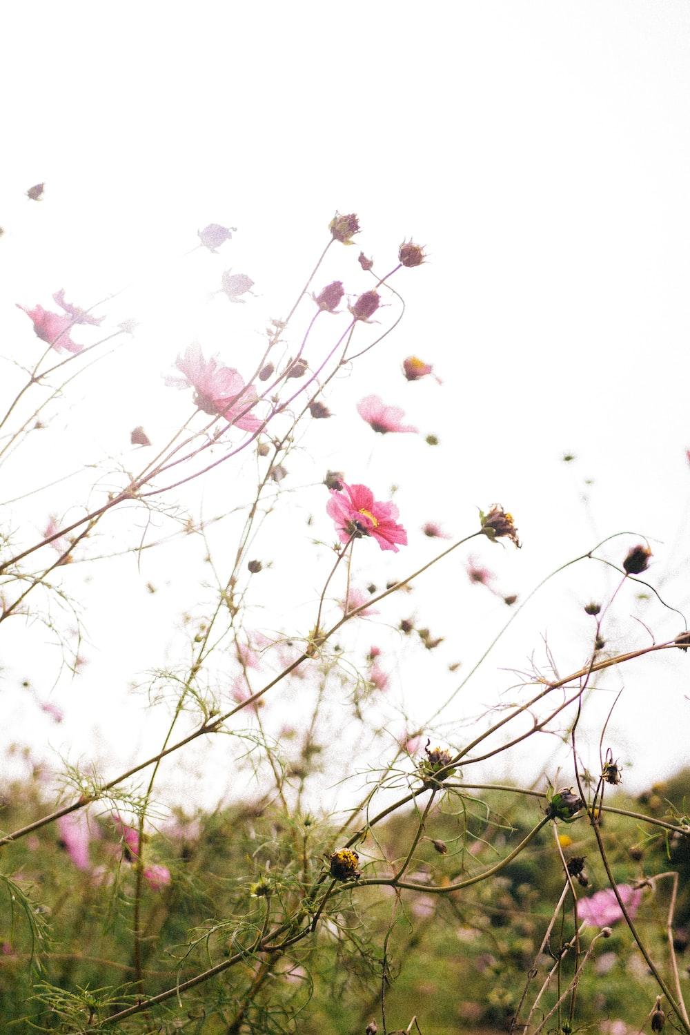 pink petaled flower illustration