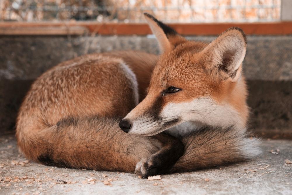 brown and white fox and brown and white fox