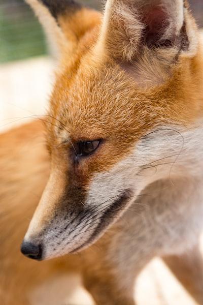 orange and white fox painting