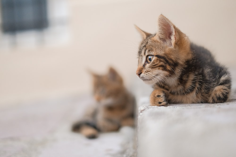 brown and black tabby cat