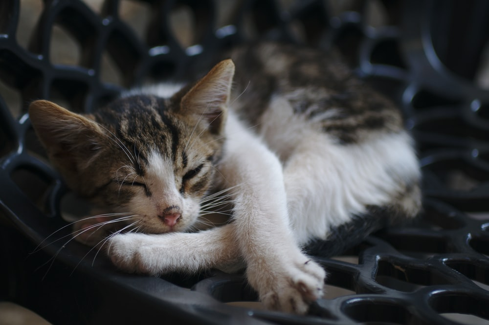 brown and white bicolor cat