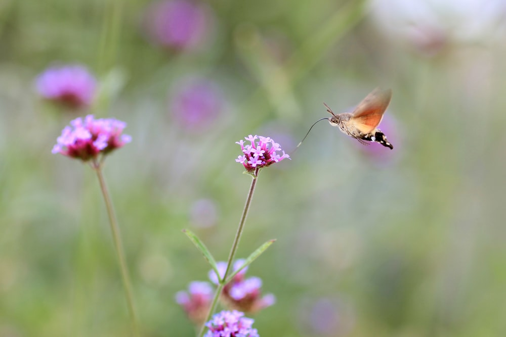 brown and black butterfly hovering on pink flowers