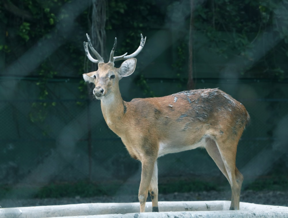 brown and gray deer