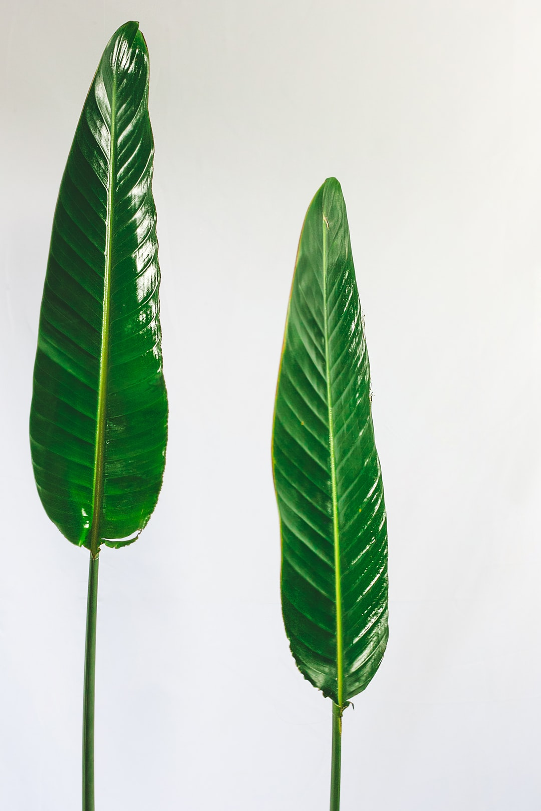 Two Strelitzia leaves