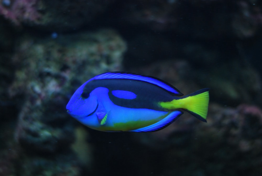 blye Tang fish