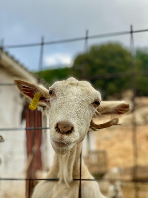 A goat farm in Chersonissos, Crete.