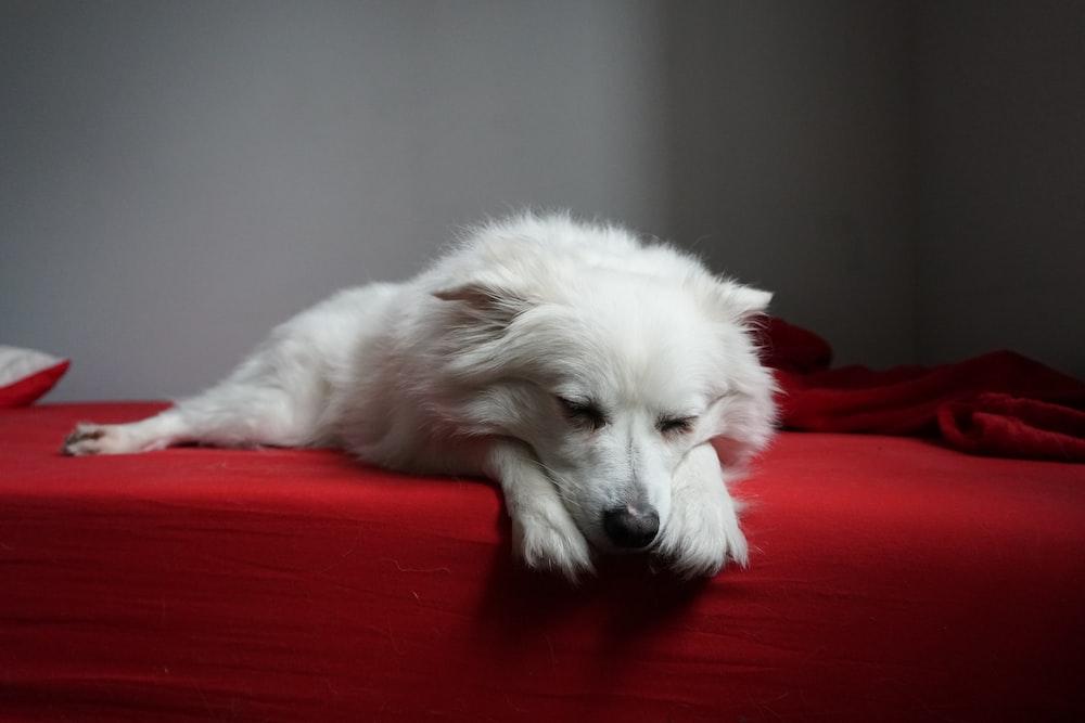 white long-coated dog