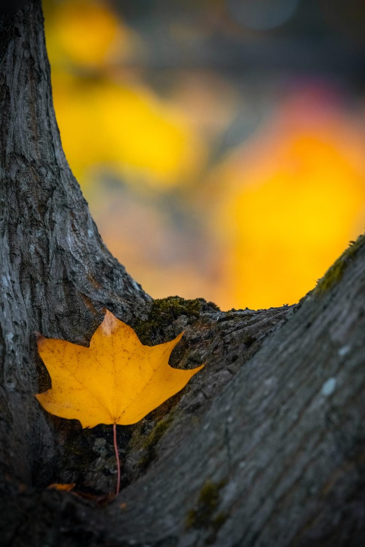 brown maple leaf on gray tree