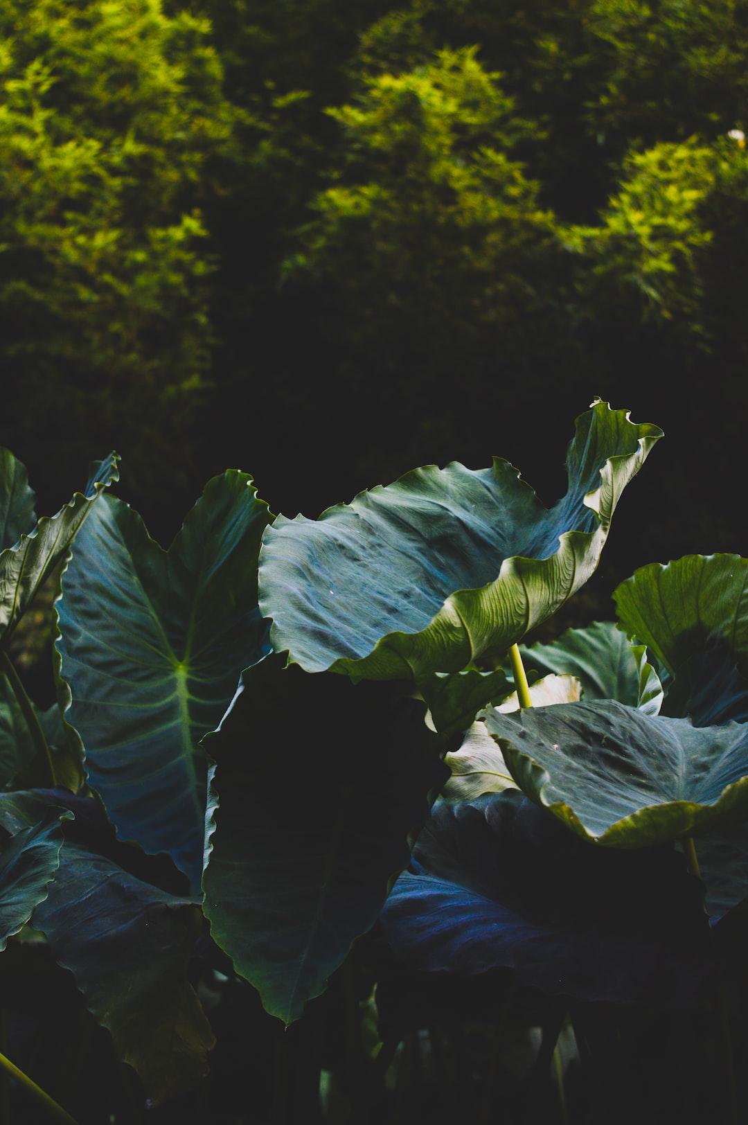 Taro plant - Folha de Inhame