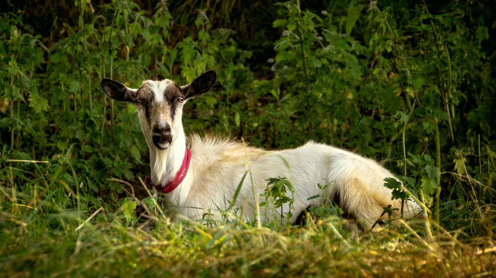 selective focus photography of white and black goat lying on grass during daytime
