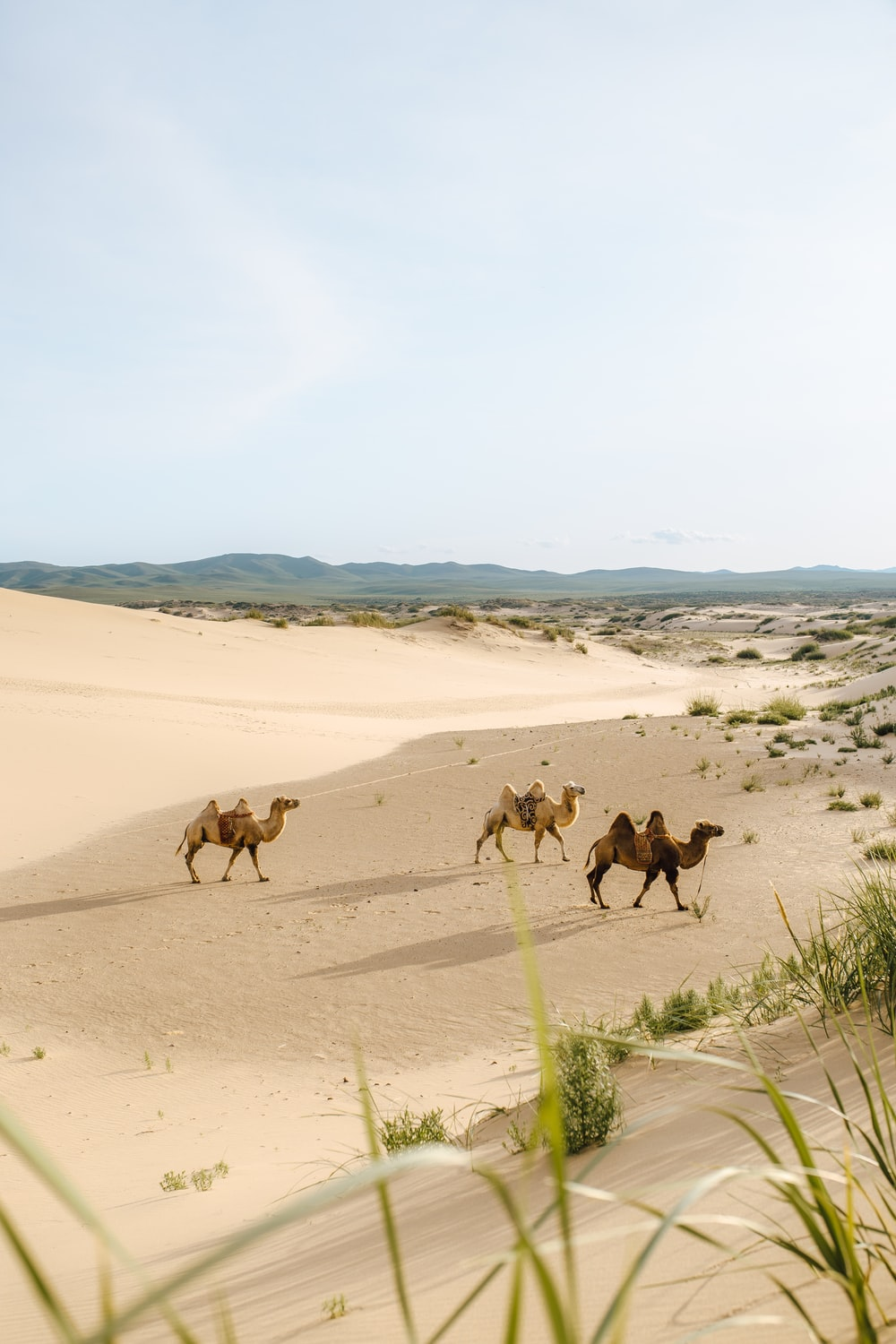 three brown camels during daytime