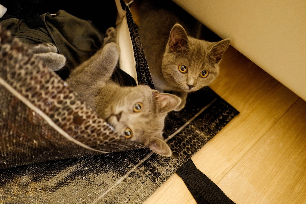 two gray cats on the floor