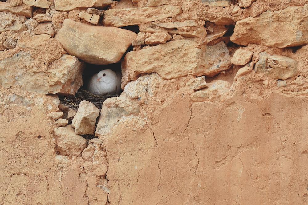 white dove in rock hole