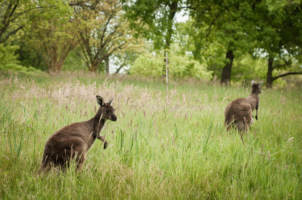 two brown deers near trees