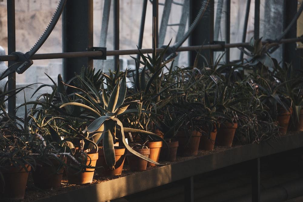 green-leaf plants in pots