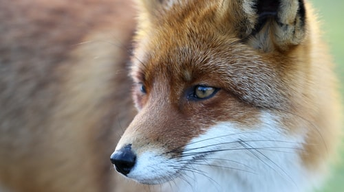 London Foxes secrets You need to know