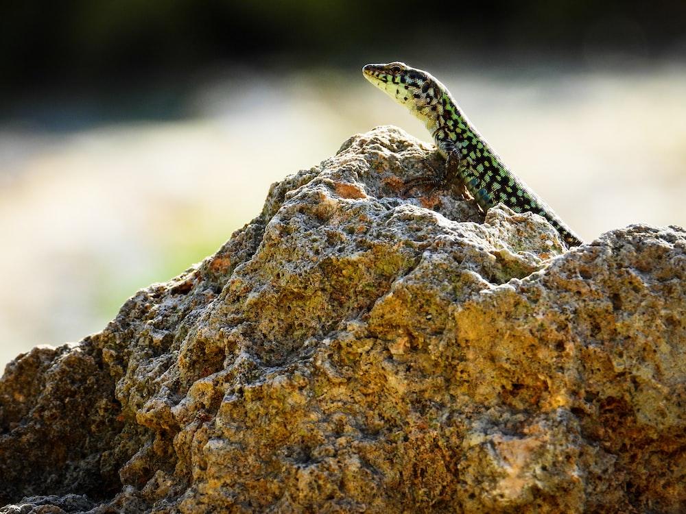 green and black lizard on rock