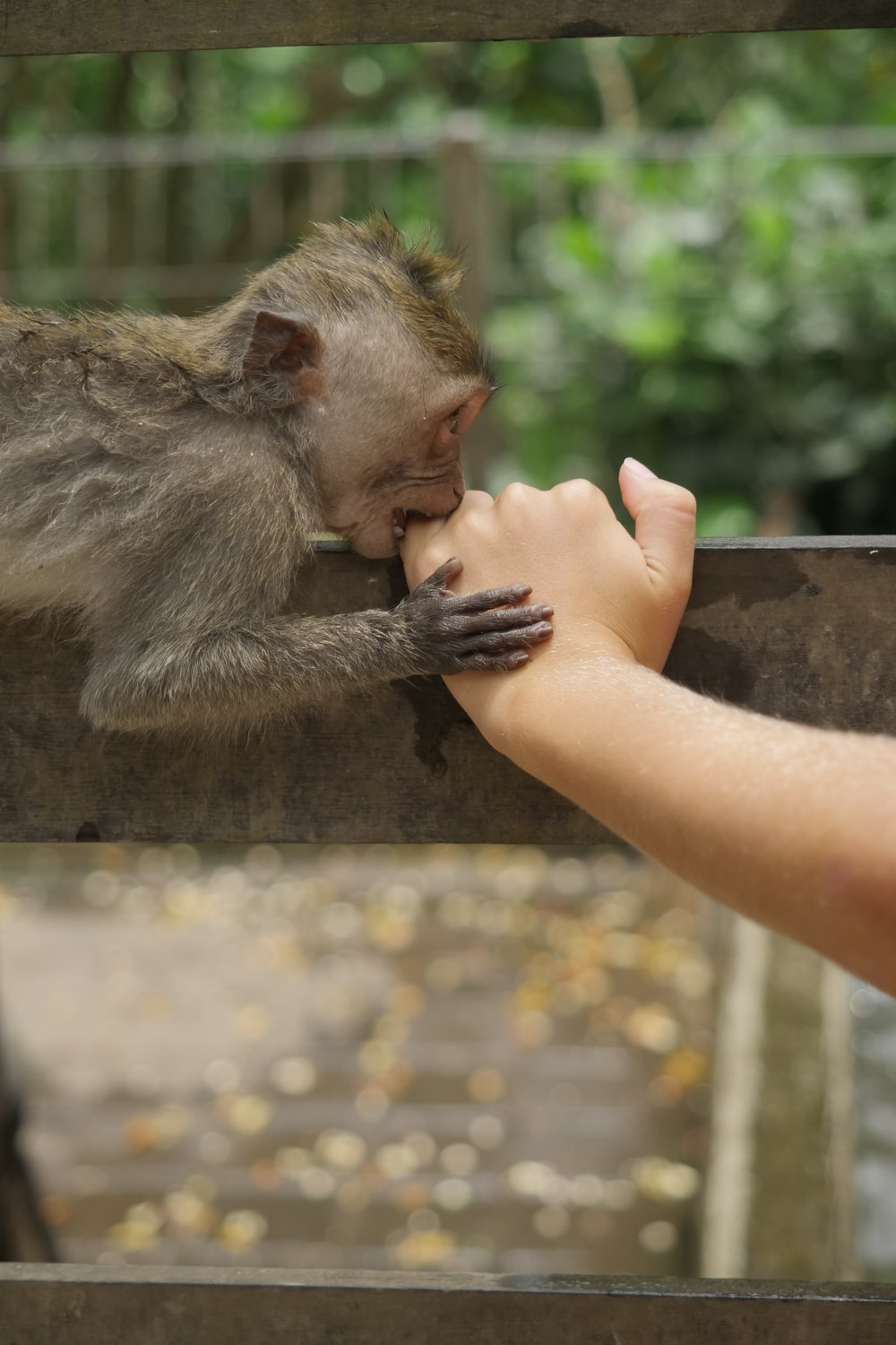 monkey biting the hand of person