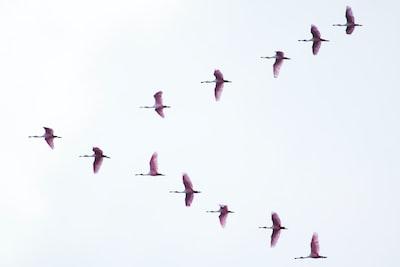 Flying colhereiros