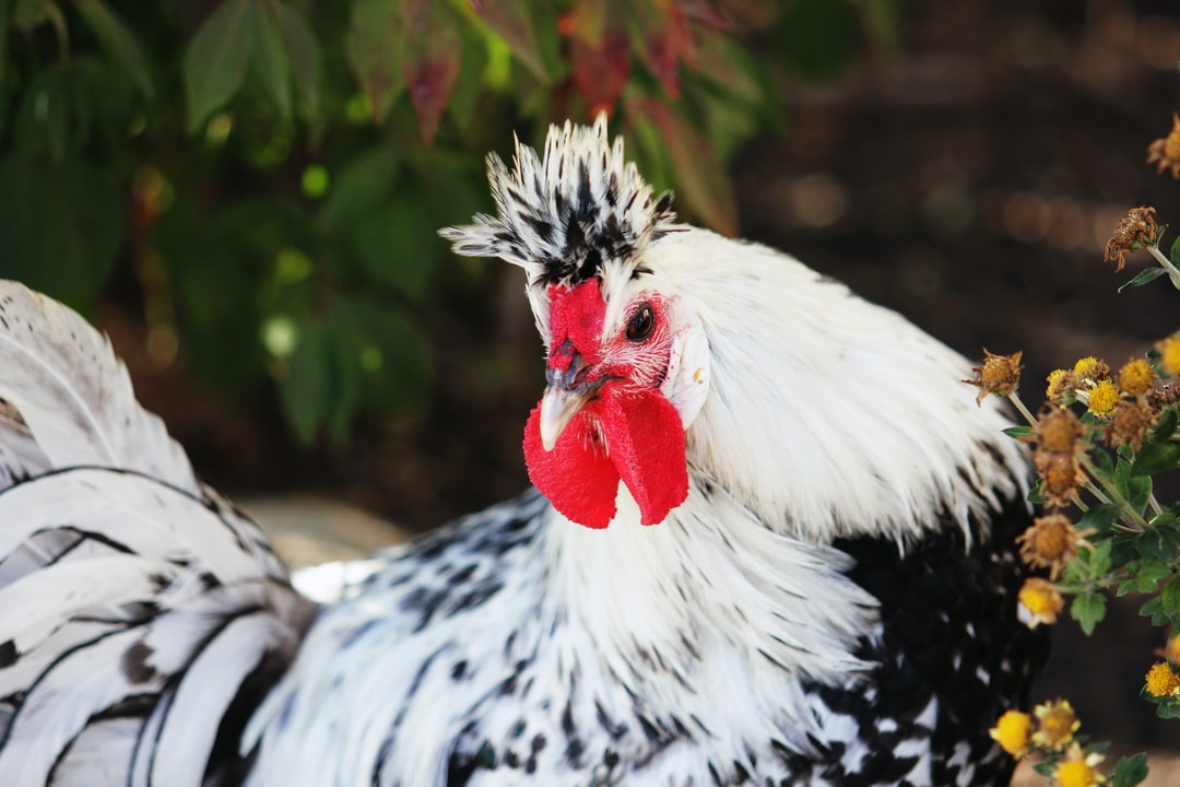A rooster ready to protect his hens.