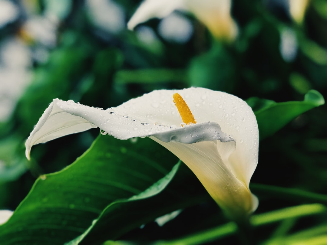 White Calla Lily flower covered in water droplets after rain.