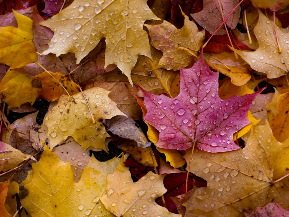 pink and yellow leaves