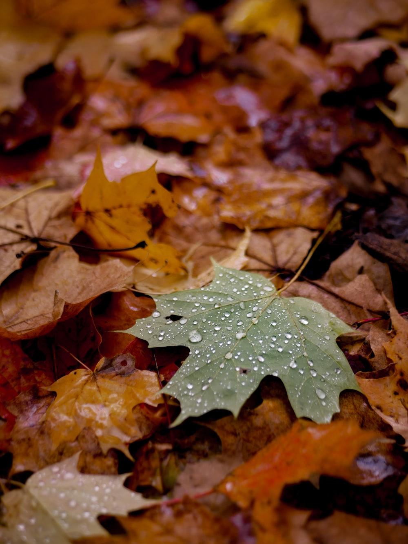 closeup photo of maple leaf