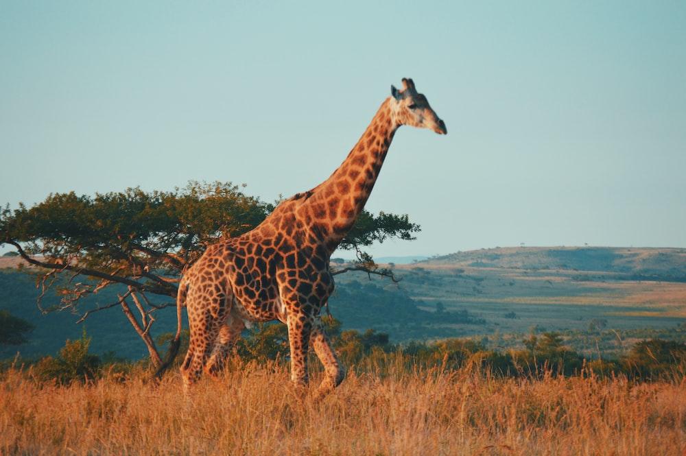 giraffe during daytime