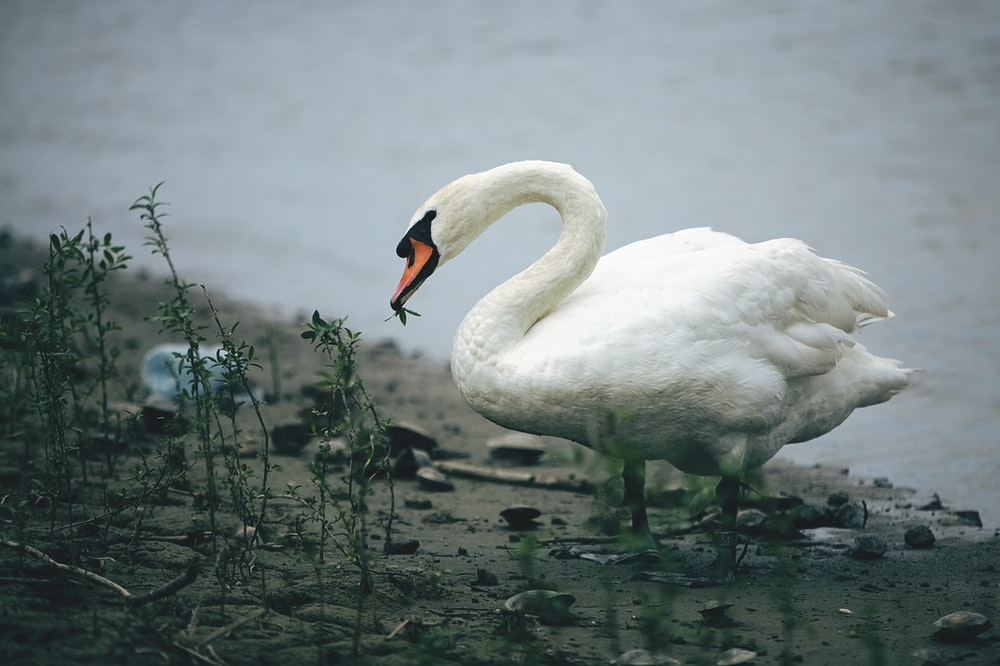 white swan eating near body of water during daytime