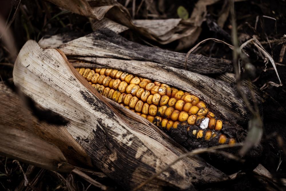 macro photography of yellow corn
