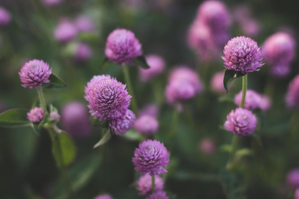 macro photography of purple chrysanths flower
