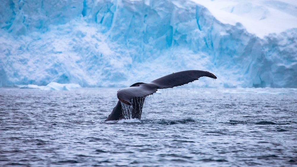 whale fin breaching water by glacier