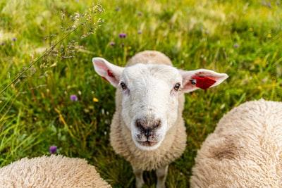 white sheeps on grass field
