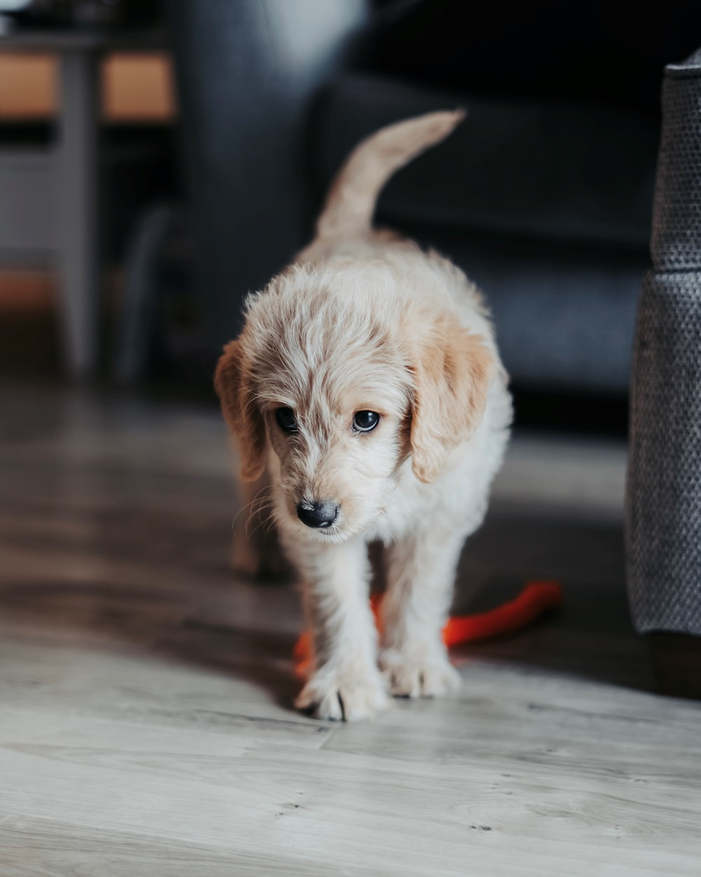 white and brown long-coated puppy